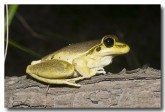 hylidae-litoria-wilcoxii-stony-creek-frog-llh-825-web-copy