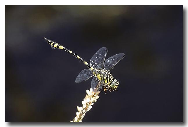Australian Tiger – Dragonfly