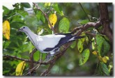 imperial-pigeon-hb-382-copy