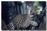 indian-leopard-qe-218-web-copy