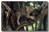 indian-leopard-qe-720-web-copy