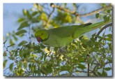 indian-ringneck-parrot-lld-946-webs-copy
