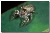 jumping-spider-lc-767-copy
