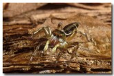 jumping-spider-lc-771-copy