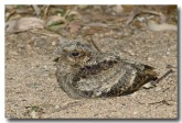 large-tailed-nightjar-chick-llh-103-web-copy
