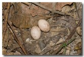 large-tailed-nightjar-eggs-llh-106-web-copy