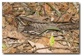large-tailed-nightjar-llh-100-web-copy
