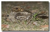 large-tailed-nightjar-llh-102-web-copy