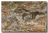 large-tailed-nightjar-llh-104-web-copy