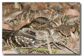large-tailed-nightjar-llh-105-web-copy