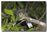 large-tailed-nightjar-llh-107-web-copy