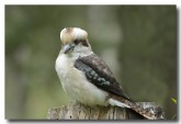 laughing-kookaburra-lld-937-copy