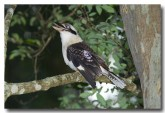 laughing-kookaburra-llf-785-web-copy