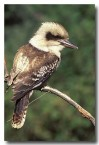 laughing-kookaburra-rw-534-copy
