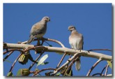 laughing-turtledove-llg-747-web-copy