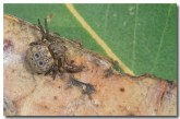 leaf-curling-spider-ke-865-copy
