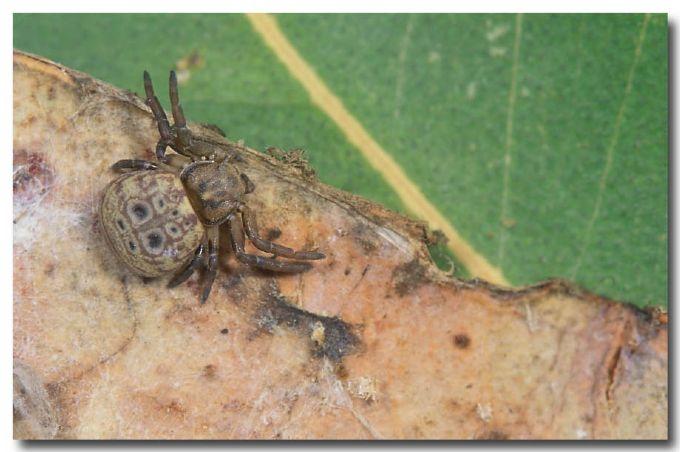 Leaf-curling Crab Spider