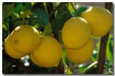lemon-ex-671-copy