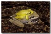 lesueurs-frog-gs-562