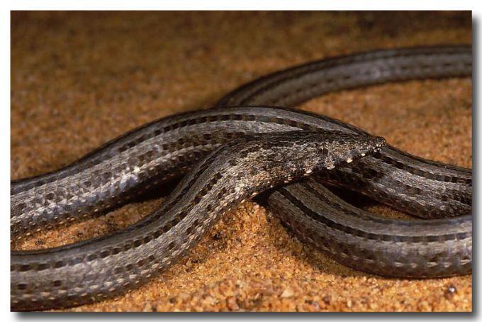 Burtons Snake-Lizard