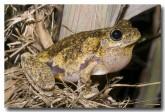 litoria-tyleri-tylers-tree-frog-llg-924-web-copy