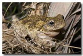 litoria-tyleri-tylers-tree-frog-llg-925-web-copy