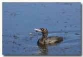 little-black-cormorant-abd-158-web-copy