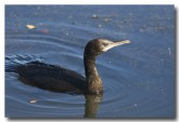 little-black-cormorant-abd-159-web-copy