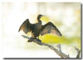 little-black-cormorant-llg-593-web1-copy