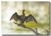 little-black-cormorant-llg-594-web-copy