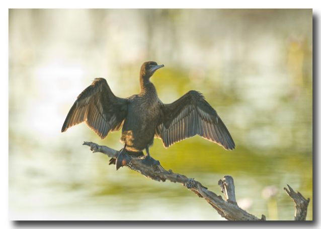 (LLG-594) Little Black Cormorant