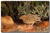 little-button-quail-mu-230-copy