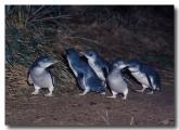 little-penguin-hk-421-copy