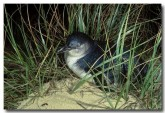 little-penguin-kj-338-copy