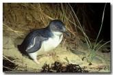 little-penguins-kj-355-copy