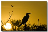 little-pied-cormorant-llg-606-web-copy