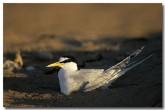 little-tern-lm-433-copy