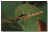 long-jawed-spider-hw-832-copy