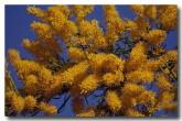 loranthaceae-nuytsia-floribunda-rb-326-copy