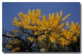 loranthaceae-nuytsia-floribunda-rb-334-copy