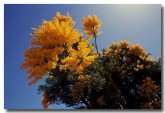 loranthaceae-nuytsia-floribunda-wa-christmas-tree-oo-152-copy