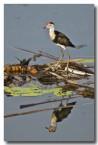 lotus-bird-jacana-llh-647-web-copy