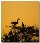 magpie-geese-llg-683-web-copy