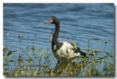 magpie-goose-llg-679-web-copy