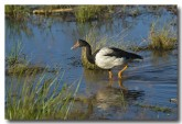 magpie-goose-llg-684-web-copy