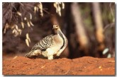 mallee-fowl-mu-046-copy