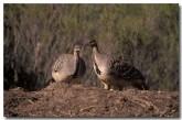 mallee-fowl-pa-361-copy