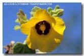 malvaceae-hibiscus-panduriformis-yellow-hibiscus-ad-151-copy