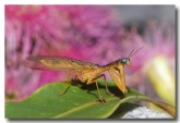 mantispid-llf-142-copy