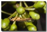 mantispid-llf-148-copy